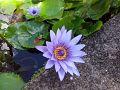 Lotus bleu.jpg