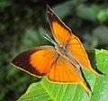 Loxura atymnus - Yamfly 09.JPG