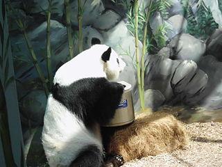 Lun Lun female giant panda