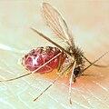 Lutzomyia longipalpis-sandfly.jpg