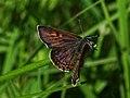Lycaena helle - Violet copper - Червонец голубоватый (42390429451).jpg