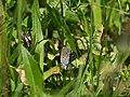 Lycaenidae CF9A8752.jpg