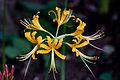 Lycoris aurea (8037803176).jpg