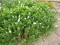 Lysimachia trientaloides (Primulaceae) plant.JPG
