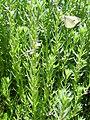 Lythrum hyssopifolia Habitus 2010-6-06 SierraMadrona.jpg