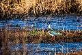 Männlicher Kiebitz (vanellus vanellus) - Naturschutzgebiet Elmpter Schwalmbruch.jpg