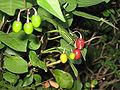 MJD mystery plant berries.jpg