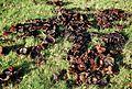 MOs810 WG 55 2016 Pyzdry Forest III (Brudzew, fungi).jpg