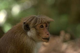 Toque macaque - Macaca sinica opisthomelas