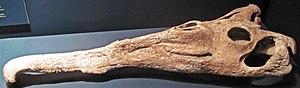 Machaeroprosopus - Skull of M. andersoni