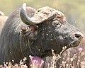 Macho buffalo pretty in purple (44527573892).jpg