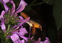 Macroglossum trochilus.jpg