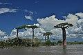 Madagascar Baobab Tree Jpg (204725613).jpeg