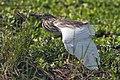Madagascar Squacco Heron - Mara - Kenya(6) (15224926489).jpg