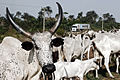 Maersk container passing cow herd in Nigeria (6953668100).jpg