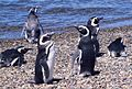 Magellan-Pinguine.JPG