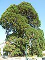 Magnac lav sequoia1.JPG