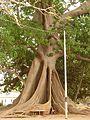Mahagoni-Baum.jpg