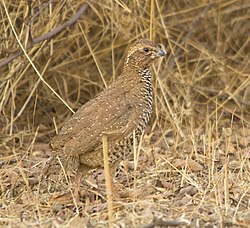 Male Rock Bush Quail.jpg