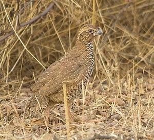 Rock bush quail - Male at Rajkot