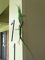 Male anoles fighting img1824.jpg
