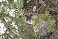 Male cougar in a tree (47752782922).jpg