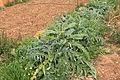 Malta - Mellieha - Triq il-Marfa - L-Inhawi tal-Ghadira - Cynara cardunculus-Artichoke 01 ies.jpg