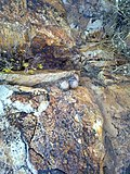 Mammillaria guelzowiana (5729317859).jpg