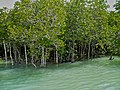 Mangroves - panoramio (2).jpg