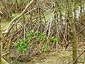 Mangroves in Thailand 2013 0617.jpg