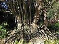 Many ombu trees.jpg