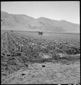 Manzanar Relocation Center, Manzanar, California. Cultivating cornfield on the project farm at this . . . - NARA - 538051.tif