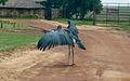 Marabou Stork (4300117499).jpg