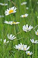 Margerite, Leucanthemum vulgare 04.JPG