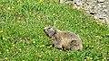 Marmots galore near Lech 2017 2 (40389077301).jpg