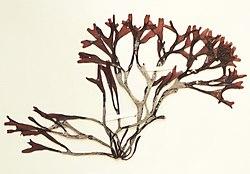 Mastocarpus stellatus 19880601a.jpg