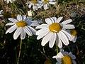 Matricaria maritima flowering heads (3621891653).jpg
