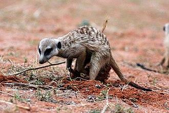 Meerkat - Meerkat digging for insects