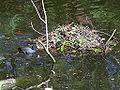 Meerkoet nest met kuikens.jpg
