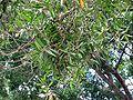 Melaleuca leucadendra-foliage.jpg