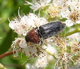 Click beetle - Melanotus leonardi