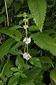 Mentha canadensis (31355723553).jpg