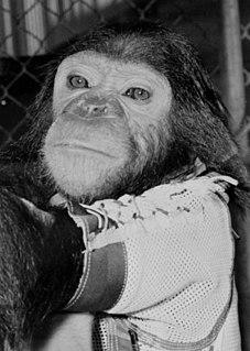 Enos (chimpanzee) Only chimpanzee to orbit Earth