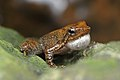 Micrixalus kottigeharensis (Calling).jpg