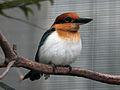 Micronesian Kingfisher RWD5.jpg