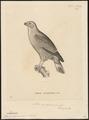 Micronisus monogrammicus - 1700-1880 - Print - Iconographia Zoologica - Special Collections University of Amsterdam - UBA01 IZ18300171.tif