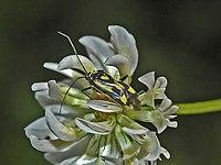 Miridae - Grypocoris (Lophyromiris) sexguttatus.jpg