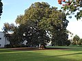 Mission Plaza Moreton Bay Fig Tree.jpg