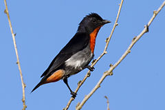 Mistletoe bird male 2.jpg