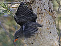 Mistletoebird3208e.jpg